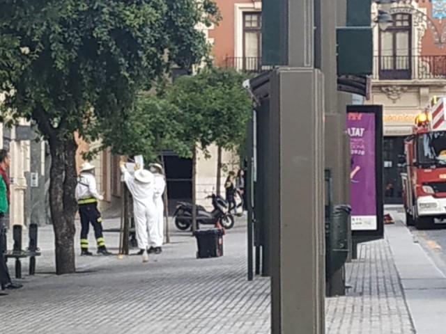 Abelles a la plaça d'Espanya