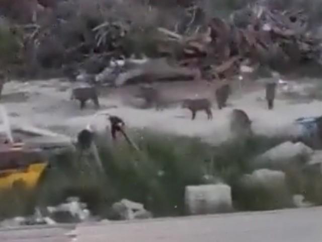 Porcs senglars busquen menjar en els límits de la Zona Nord