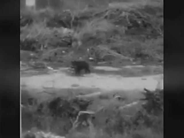 Una família de porc senglars passeja per Alcoi aprofitant la quarantena