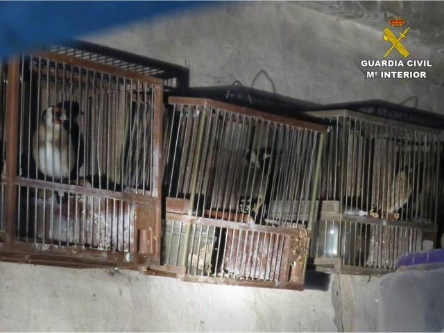 Ocellsfringíl·lids (espècie protegida) atrapades en gàbies.