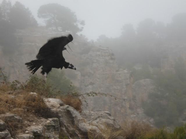 Un voltor negre es deixavorea la pedrera de Sant Cristòfol