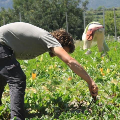 L'Hort de Pastenaga cultiva verdures ecològiques a l'ombra del Benicadell des de l'any 2012./ Arxiu