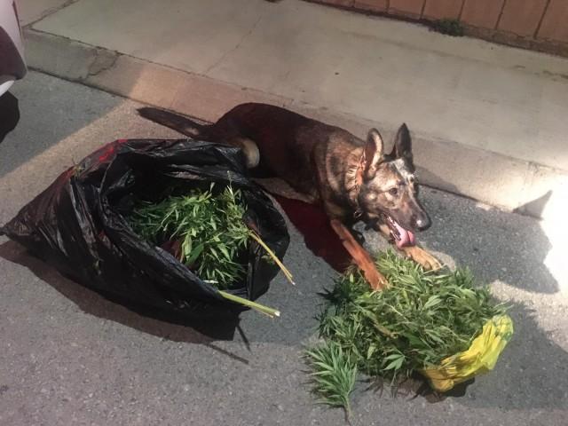 El gos de la unitat canina de la Policia Local de Cocentaina
