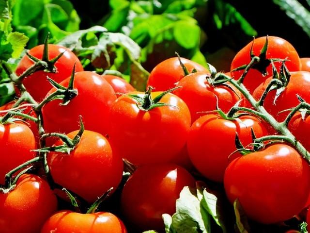L'Orxa tria la millor tomaca de les comarques