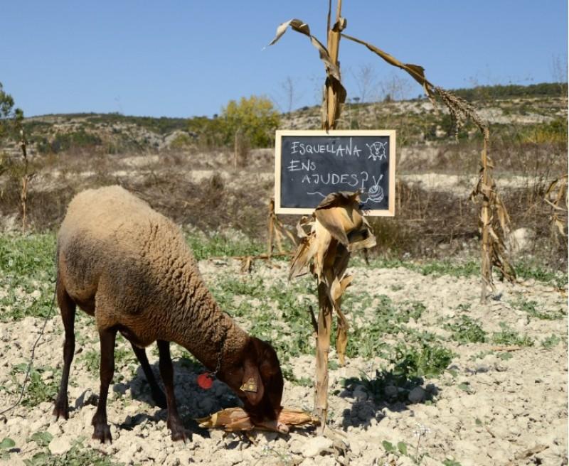 El projecte 'Esquellana' vol recuperar la producció de llana natural / Col·lectiu Esquella