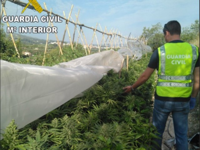Cultiu de marihuana/Guardia Civil