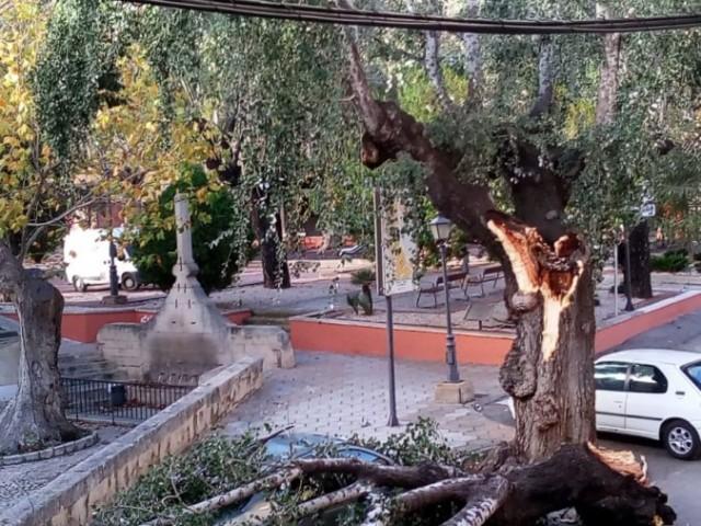 L'arbre de la Plaça del Pla, a Cocentaina